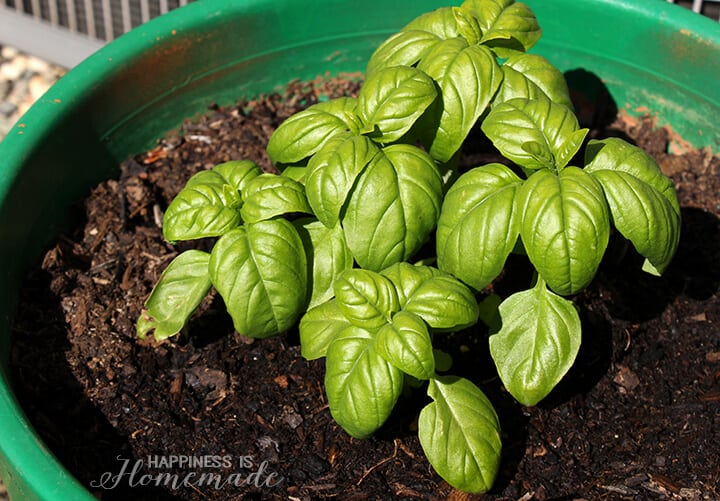 Basil Plant Seedlings