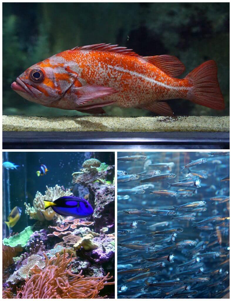 Fish at the Aquarium of the Bay